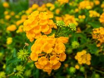Vibrant and bright yellow wild sage flowers royalty free stock photos