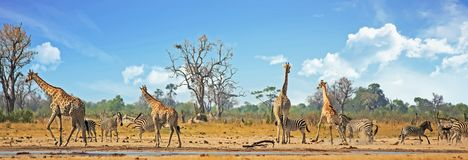 Free Vibrant Busy Waterhole With Giraffes, Zebras And Sable Antelopes Against A Natural Bush Background And Blue Cloudy Sky, Hwange Royalty Free Stock Images - 130492459