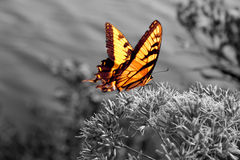 Vibrant butterfly on black and white. Vibrant butterfly in a black and white world (on flower, with water in background Royalty Free Stock Image
