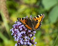 Vibrant butterfly on a purple Flower Stock Images