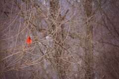 Vibrant cardinal resting in a tree Stock Photo