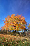 Vibrant cherry tree in fall foliage on a sunny day Stock Images