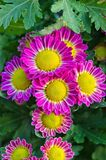 Vibrant Chrysanthemum Daisies Blomming Royalty Free Stock Image