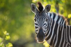 A vibrant, close up, colour image of a zebra looking at the camera. royalty free stock photo
