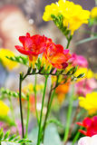 Vibrant closeup flower of red alstroemeria background Royalty Free Stock Image
