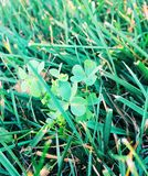 Vibrant Clovers in Grass. Hidden patch of clovers in the grass Royalty Free Stock Photo