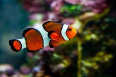 Vibrant Clownfish on reef. A vibrant clownfish swimming on the coral reef Stock Photos