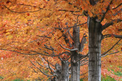 Vibrant Color leaves on trees at golden Autumn Royalty Free Stock Photography