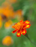 Vibrant color of orange flowers Royalty Free Stock Image