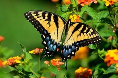 Vibrant color Tiger Swallowtail Butterfly. Beautiful Tiger Swallowtail butterfly at at garden area background stock image