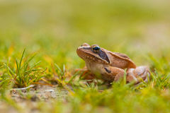 Vibrant Colored Agile Frog Royalty Free Stock Image
