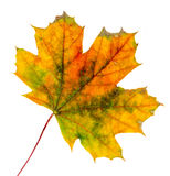 Vibrant colored autumn maple leave (leaf), isolated, white background Royalty Free Stock Image