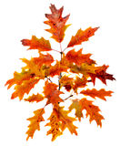 Vibrant colored autumn oak leave (leaf), branch, isolated. Stock Photos
