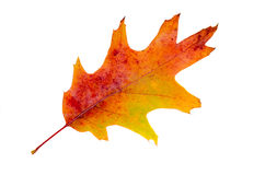 Vibrant colored autumn oak leave (leaf), branch, isolated. Royalty Free Stock Photo