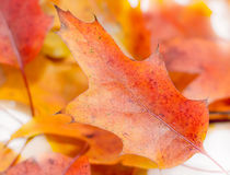 Vibrant colored autumn oak leave (leaf), branch, isolated. Royalty Free Stock Photos