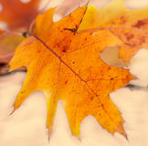 Vibrant colored autumn oak leave (leaf), branch, isolated. Stock Image