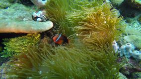 Vibrant colored Cinnamon clownfish, Amphiprion Melanopus in a sea anemone. Underwater scene with Cinnamon clownfish swimming in a sea anemone outside the island stock video footage