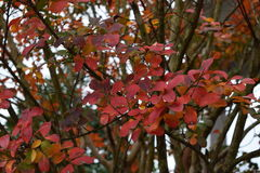 Vibrant colored Fall Leaves. Crape Myrtle Fall leaves, vibrant bright red, green leaves.  Excellent Fall colors to look at Stock Image
