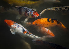 Vibrant Colored Koi Fish in a Murky Green Pool. Orange, white and black Koi fish swimming together in a pool Stock Images