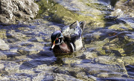 Vibrant colored wood duck swimming in shallow rocky water, shini Stock Photo