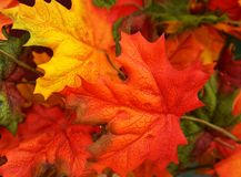 Vibrant, colorful autumn fall Maple leaves background, texture. Vibrant, colorful autumn fall Maple leaves background Royalty Free Stock Photography