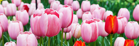 Vibrant colorful closeup pink tulips holiday panoramic background Royalty Free Stock Photos