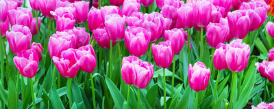 Vibrant colorful closeup pink tulips holiday panoramic background Royalty Free Stock Image