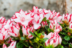 Vibrant colorful closeup pink and white flowers holiday background Royalty Free Stock Photos