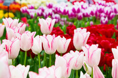Vibrant colorful closeup white with pink tulips holiday panoramic background Stock Photo