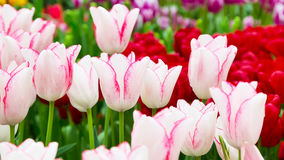 Vibrant colorful closeup white with pink tulips holiday panoramic background Royalty Free Stock Photos