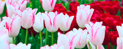 Vibrant colorful closeup white with pink tulips holiday panoramic background Royalty Free Stock Photo