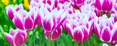 Vibrant colorful closeup white with purple tulips holiday panoramic background Royalty Free Stock Image