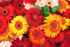Vibrant Colorful Daisy Gerbera Flowers Stock Photos