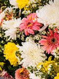 Vibrant Colorful Daisy Gerbera Flowers Royalty Free Stock Photos
