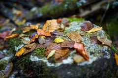Colorful autumn leaves. Vibrant colorful leaves on a rock in closeup Royalty Free Stock Image