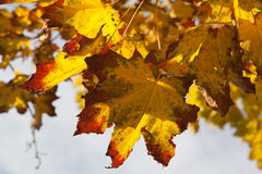 Vibrant and colorful orange, yellow and red maple tree leaves Royalty Free Stock Image