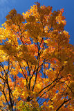 Vibrant and colorful orange, yellow and red maple tree leaves Stock Images