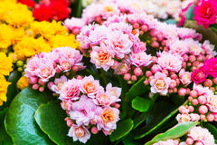 Vibrant colorful pink Kalanchoe fowers holiday background Royalty Free Stock Photography