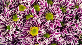 Vibrant and colorful purple chrysanthemum flowers background. At flower market, Bangkok Thailand Royalty Free Stock Photography