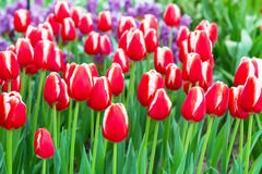 Vibrant colorful red and white tulips holiday background Royalty Free Stock Images
