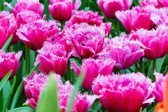 Vibrant colorful shaggy edged fuzzy pink tulips holiday background Stock Images