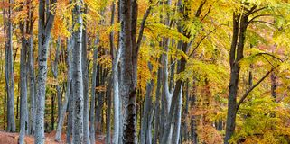 Autumn forest. Vibrant colors of autumn have paint this picturesque forest scenery stock photos