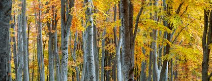 Autumn forest. Vibrant colors of autumn have paint this picturesque forest scenery stock images