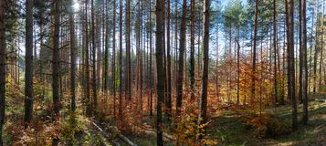 Autumn in the forest. Vibrant colors of autumn have paint this picturesque forest scenery stock photos