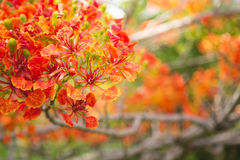 Vibrant colors of the flame tree Royalty Free Stock Photo