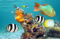 Vibrant colors of marine life. In a coral reef with colorful fish, sea sponges and tube worms Royalty Free Stock Photography