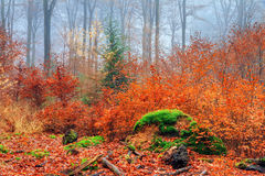 Vibrant colors misty forest. Vibrant autumn colors in the forest in the Netherlands on a misty day Royalty Free Stock Photo