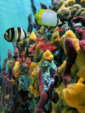 Vibrant colors of sealife. Colorful sea sponges and tropical fish in a coral reef with water surface in background, Caribbean sea stock photo