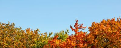Vibrant coloured leaves on autumn treetop , clear blue sky space for text above. Wide banner / fall background.  royalty free stock images