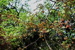 Vibrant coloured wild berries against a green background. Vibrant coloured wild berries seen against greenery in Sanjay Gandhi National park at Mumbai, India royalty free stock image